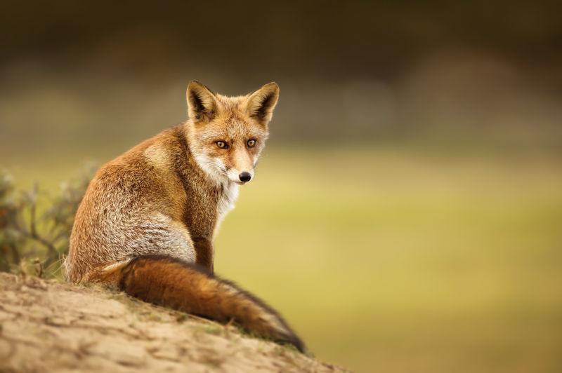 Portrait of red fox sitting on land