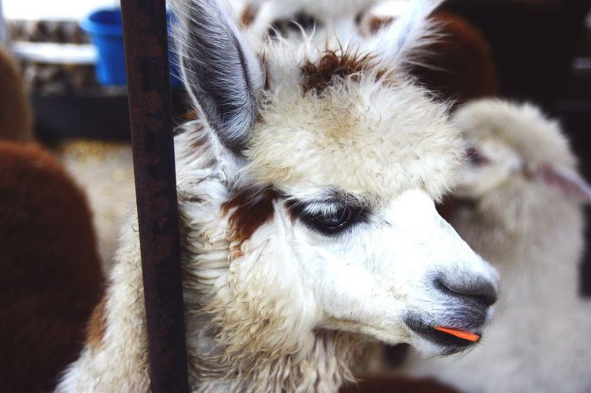 Alpaca Close-up Cute Animal Eating Carrot Animal Themes Outdoors Exciting See New Friend Super Cutest Thing Ever! Lol :)