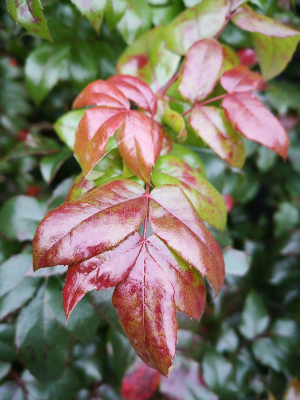 plant, plant part, leaf, beauty in nature, close-up, growth, focus on foreground, nature, vulnerability, pink color, day, fragility, no people, autumn, flower, freshness, flowering plant, outdoors, change, red, leaves, flower head, maple leaf, maroon