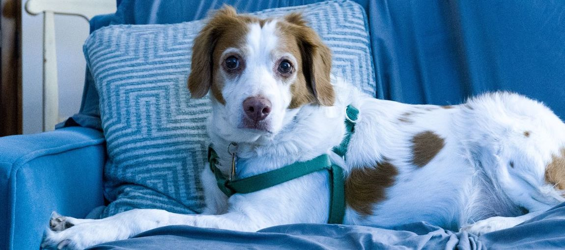 No Edit/no Filter New Camera, First Photo Wide Shot Dog❤ Brittany ❤ Brittany Spaniel EyeEm Selects Dog Pets Looking At Camera One Animal Animal Portrait Domestic Animals Sitting Close-up Indoors