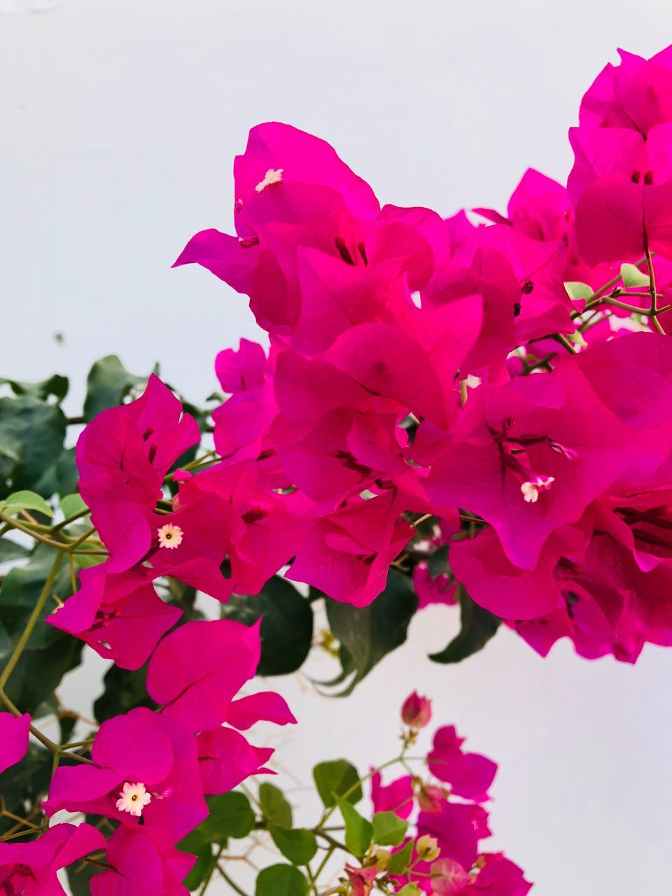 flowering plant, flower, plant, fragility, vulnerability, beauty in nature, freshness, growth, petal, pink color, close-up, inflorescence, no people, flower head, nature, sky, bougainvillea, blossom, day, springtime, pollen, spring
