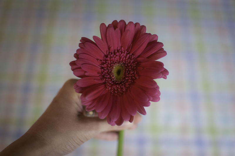 Gerbera daisy Gerbera Daisy Pollen Body Part Lifestyles Finger Inflorescence Holding Flower Head Focus On Foreground Close-up Real People Plant Beauty In Nature One Person Petal Freshness Vulnerability  Human Body Part Fragility Hand Flower Human Hand Flowering Plant