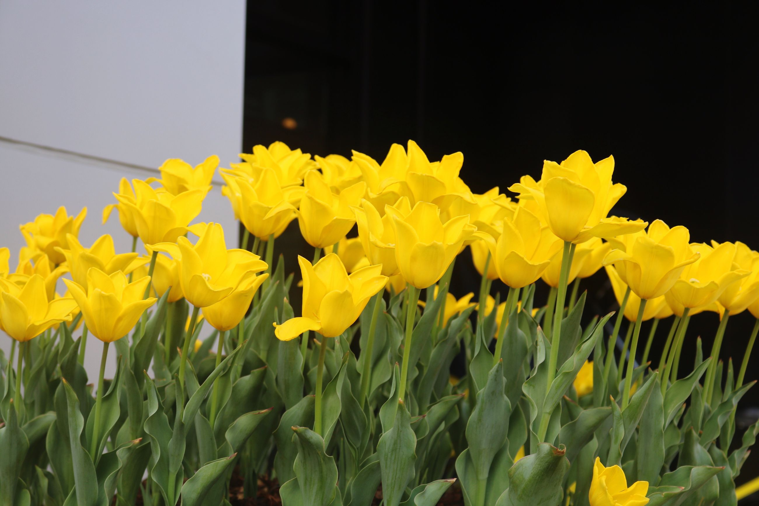 yellow, flower, petal, fragility, plant, growth, freshness, nature, outdoors, no people, beauty in nature, day, daffodil, flower head, close-up, blooming