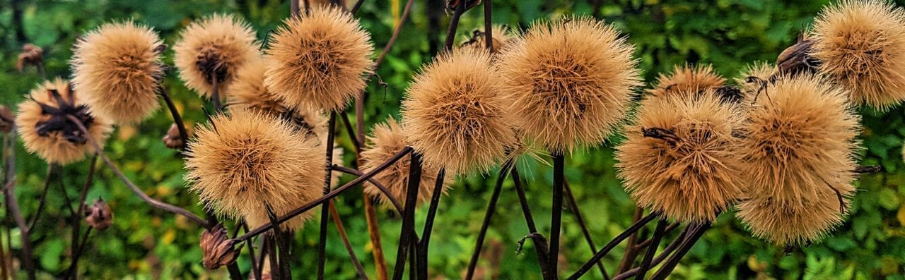 Seed Heads Plant Growth Nature Outdoors Flower Head Beauty In Nature Fluffy Plant Garden Photography Garden Plants Pom Pom Flower