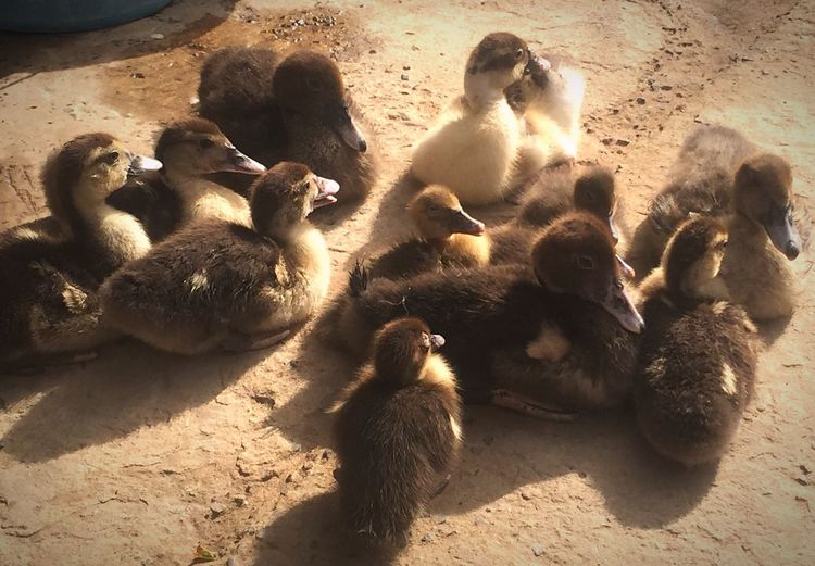Duck family Animal Photography Ducks Farm Farm Life West Africa Senegal IPhoneography Nature_collection Family The Traveler - 2015 EyeEm Awards Streetphotography Discover Your City Showcase:December