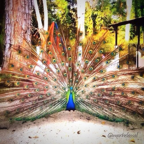 Peacock Fanned Out Feather  Multi Colored Close-up Male Animal Animal Behavior Peacock Feather Full Frame Nature Beauty Beauty In Nature Surface Level No People