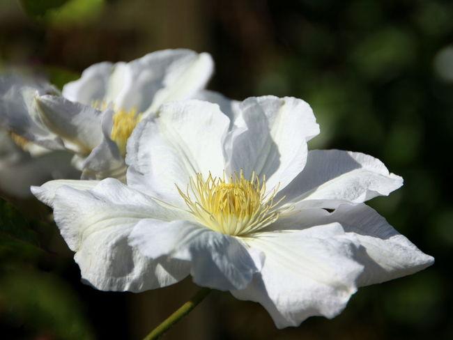 dekorative weiße Clematisblüte Keine Leute Natur Blütentraum Blütenblatt Blütenzauber Tag Draußen Klematis Blühen Blumen-Kopf Schönheit Der Natur Blume Pflanze  Fokus Auf Vordergrund Nahansicht Dekorativ Weiße Blumen Weiss Weiße Blüten EyeEmNewHere