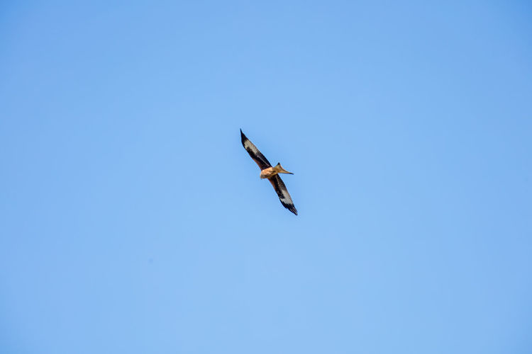 Beauty In Nature Birds Of Prey Blue Sky Countryside Flying Mid-air Nature Sweden