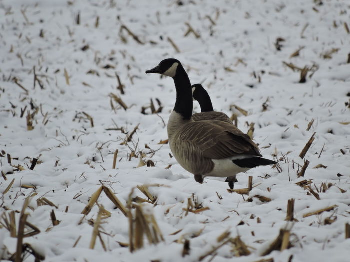 Canada geese on snow during winter