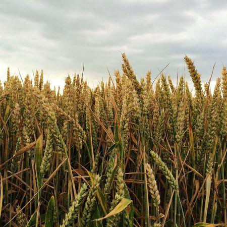 Barley Landscape Fields Of Gold Minimalism IPS2016Nature