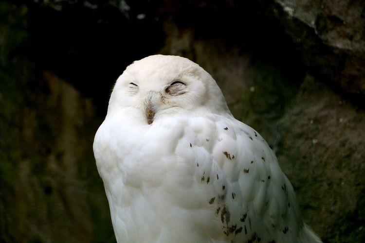Close-up portrait of white owl