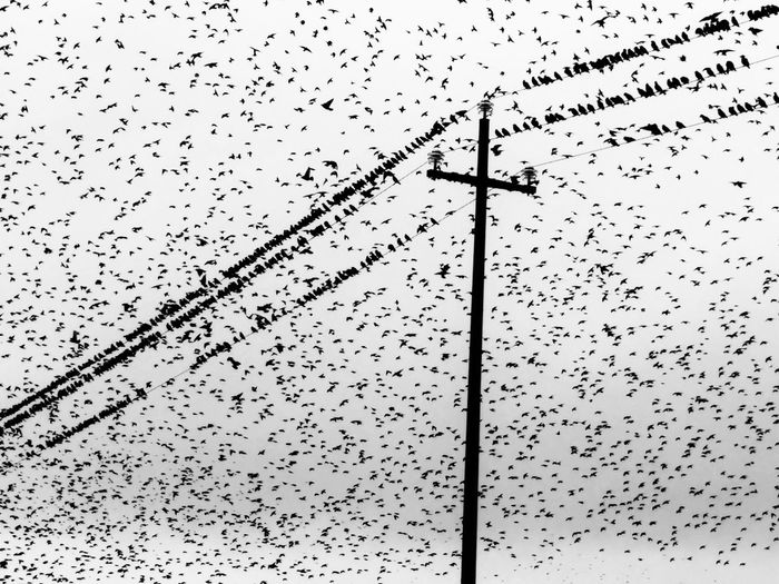 Flock of starlings Blackandwhitephotography Monochrome Photography Blackandwhite Photography Countryside Sardinia Sardegna Italy  Autumn Nature Birds Stormodistorni Storni Starling Ink Paper Drop Backgrounds No People