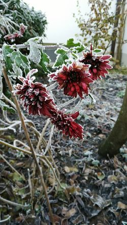 Beauty In Nature Red Fragility Flower Head Day Plant Frozen Nature