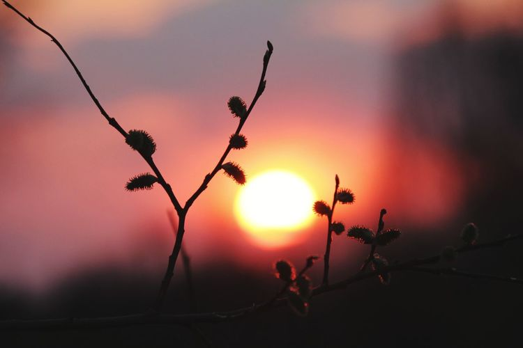 willow branch at sunset Sunset Sunset_collection Sunrise Red Sunset Fullframe Full Frame Contrast Zelentsino зеленцино Россия Russia Nature Beauty In Nature Flower Tree Sunset Branch Sun Sunlight Flower Head Silhouette Sky Close-up Shining In Bloom Blossom Botany