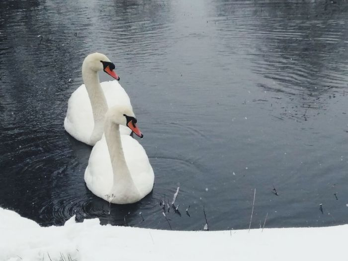 lake Swan Lake Animals in the Wild bird lake animal wildlife animal themes swan Swimming no people water bird first eyeem photo Lake Swan Lake Animals In The Wild Bird Lake Animal Wildlife Animal Themes Swan Swimming No People Water Bird EyeEm Ready   AI Now Shades Of Winter