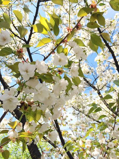 Relaxing Taking Photos Cherry Blossoms Sakura2016 Flowers, Nature And Beauty Bluesky