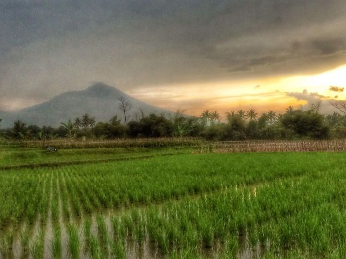 Travelingng Travel Sunset At The Paddy Field INDONESIA