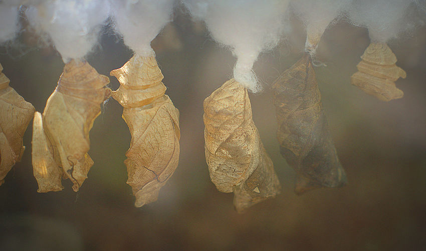 Close-up of chrysalises hanging on cotton plants