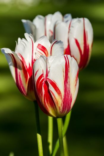 Close-up of red tulip flower