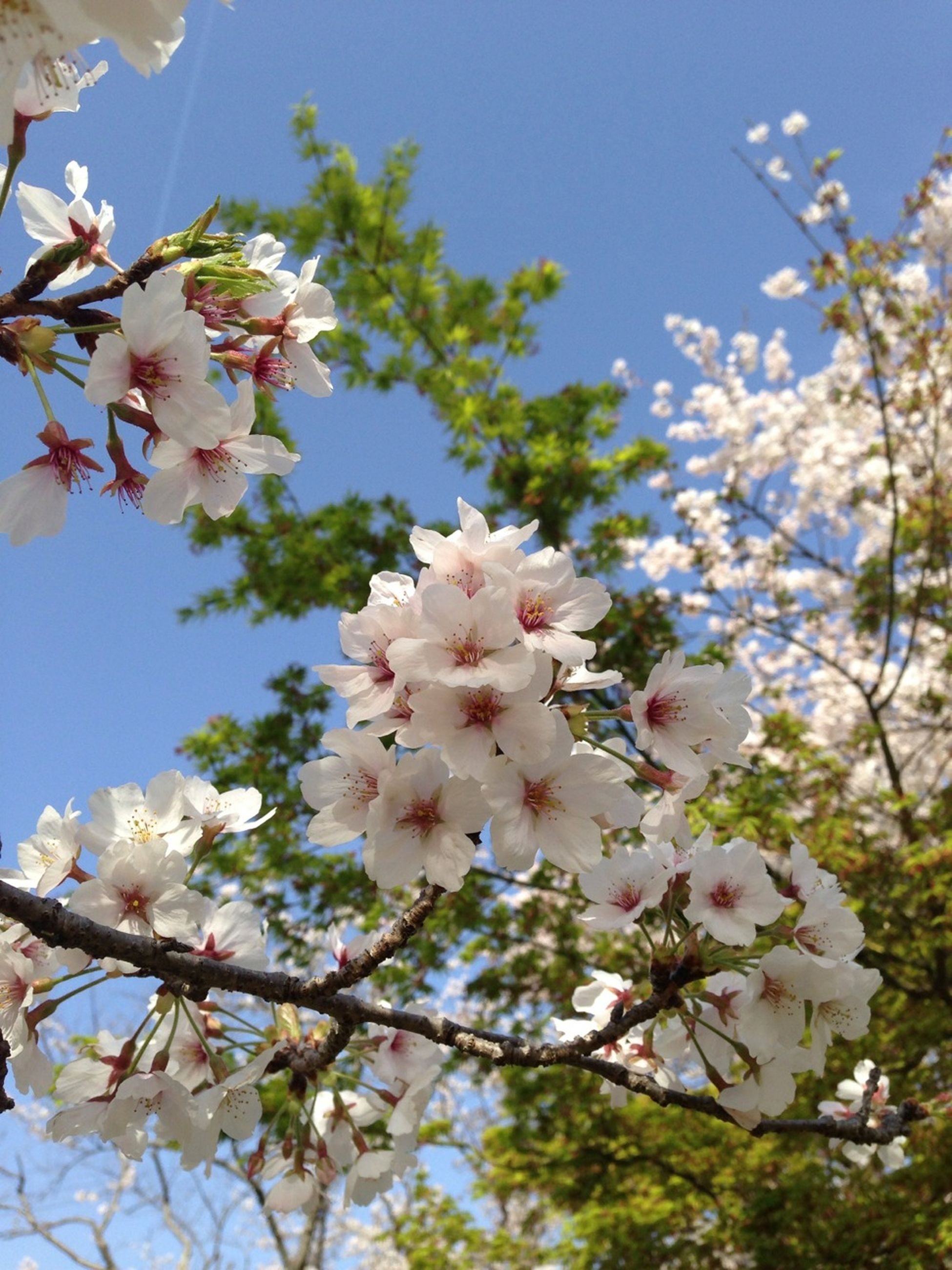 flower, freshness, fragility, low angle view, growth, branch, tree, petal, blossom, beauty in nature, cherry blossom, white color, nature, blooming, in bloom, springtime, cherry tree, flower head, sky, clear sky