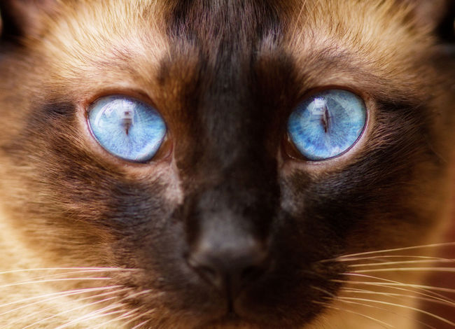 Pure Breed Siamese Cat Alertness Animal Head  Animal Themes Breed Cat Cats Close-up Curiosity Domestic Animals Front View Home Indoors  Looking At Camera Mammal One Animal Part Of Pets Portrait Relaxation Selective Focus Siamese Siamese Cat Siamesecat Siamesecats Zoology