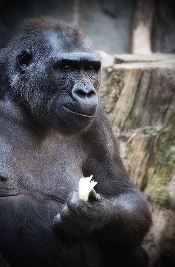 Portrait of black labrador retriever in zoo