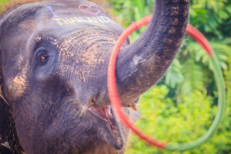 Little elephant use his trunk to play hula hoop Hula Hoop Happiness Hula Hoop Tricks Hula Hoopla Hula Hoops Young Elephant Elephant Elephant Calf Elephant Show Elephant ♥ Elephants Hula Hoop Hula Hoop Dancer Hula Hooping  Hula Hooping Fun Hula Hoops In Motion