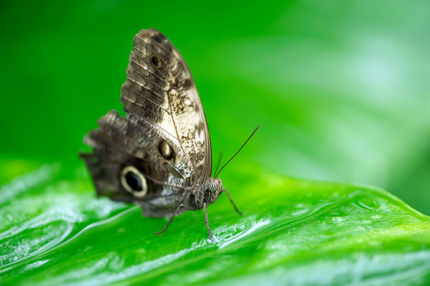 butterfly Animal Animal Themes Invertebrate Insect One Animal Animal Wildlife Leaf Plant Part Green Color Animals In The Wild Close-up Animal Wing Nature Animal Body Part No People Selective Focus Beauty In Nature Plant Macro Day Outdoors Butterfly - Insect Butterfly