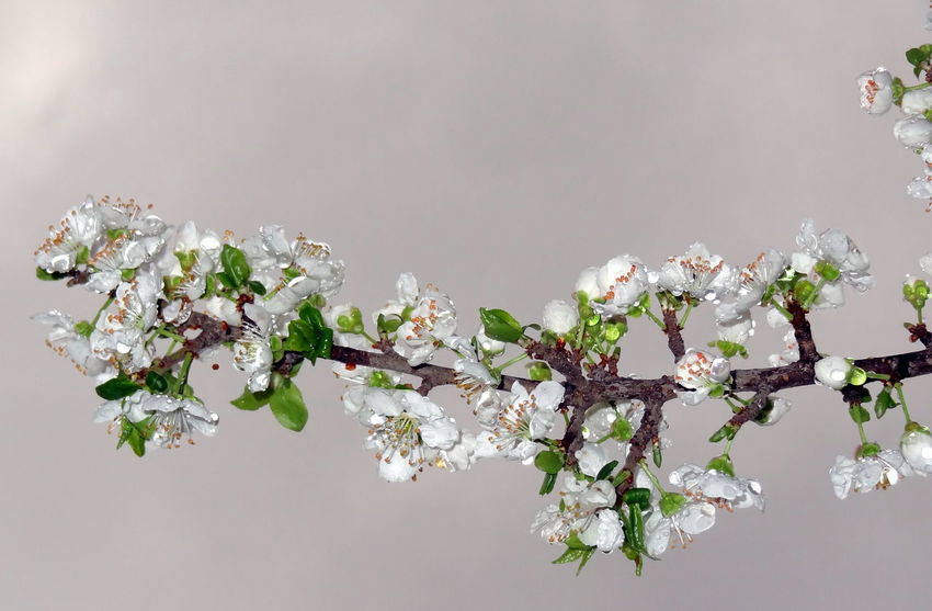 Spring has come and all ... Beginnings Blooming Branch Focus On Foreground Freshness Growth In Bloom Nature On My Doorstep New Life Plum Blossom Plum Flowers Spring Has Arrived