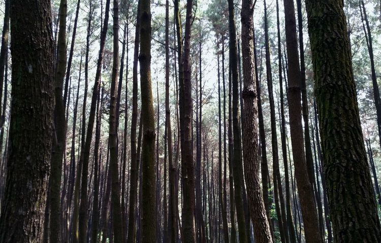 Pine trees at Gunung Pancar, Indonesia Sky Pine Trees GunungPancar Nature INDONESIA