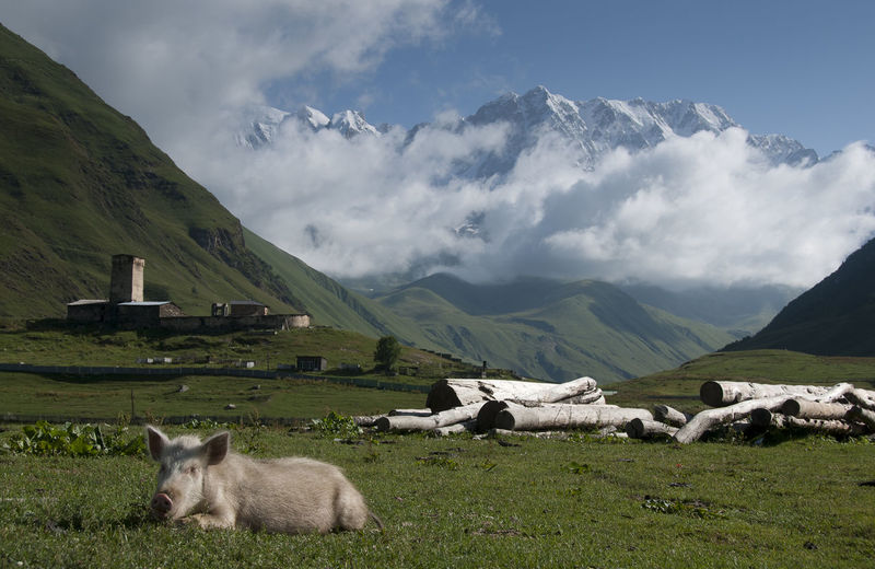 Pig Relaxing On Grassy Hill Against Mountains And Clouds During Sunny Day