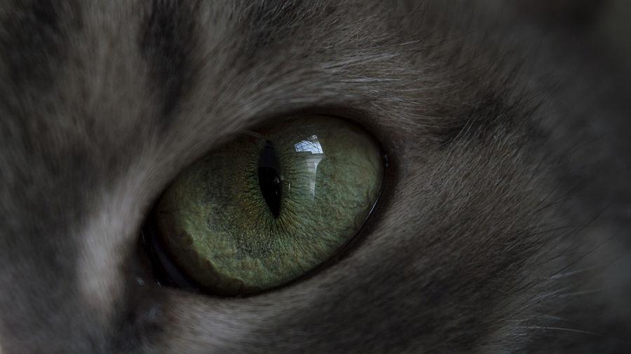 Reflecting on reflections. 50mm Cats Of EyeEm Kitty Nikon Animal Body Part Animal Eye Animal Themes Cat Cat Eyes Cats Close-up Detail Domestic Animals Domestic Cat Eye Eyeball Feline Iris - Eye Looking At Camera Pets Portrait