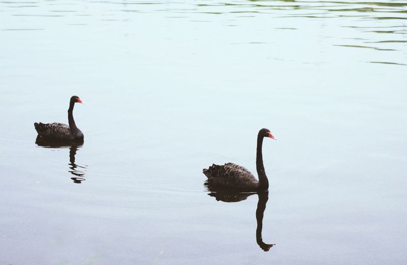 High angle view of black swans swimming in lake