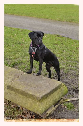Cane Corso Canecorso  Italian Mastiff Dog I Love My Dog Amateur Photography My Dog Dogs Longford Park My Dogs Are Cooler Than Your Kids