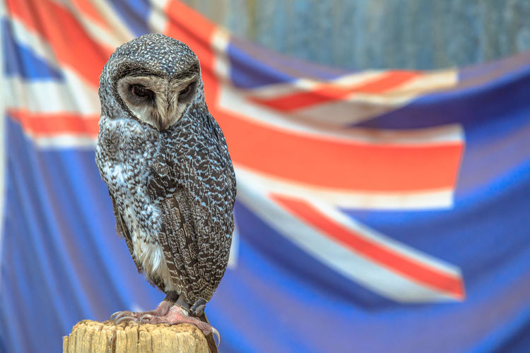 Portrait of Greater Sooty Owl with Australian flag on blurred background. Whiteman, near Perth in Western Australia. Copy space. Animal Wildlife Australia Australian Woman Sooty Owl Owl Australian Flag Flag Australian Flags Bird Backgrounds One Animal Vertebrate Animal Wildlife Patriotism Bird Of Prey Focus On Foreground Animals In The Wild Blue No People Close-up Striped Freedom National Icon Eagle