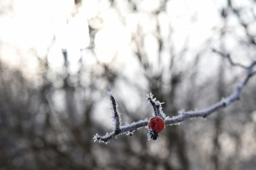 Hagebutten Focus On Foreground Nature Winter Close-up Frozen Tree No People Beauty In Nature Cold Temperature Outdoors Red Bokeh Weather Beauty In Nature January 2017 Winter 2017