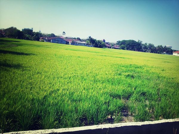 Relaxing Paddyfield Enjoying Life Hello World