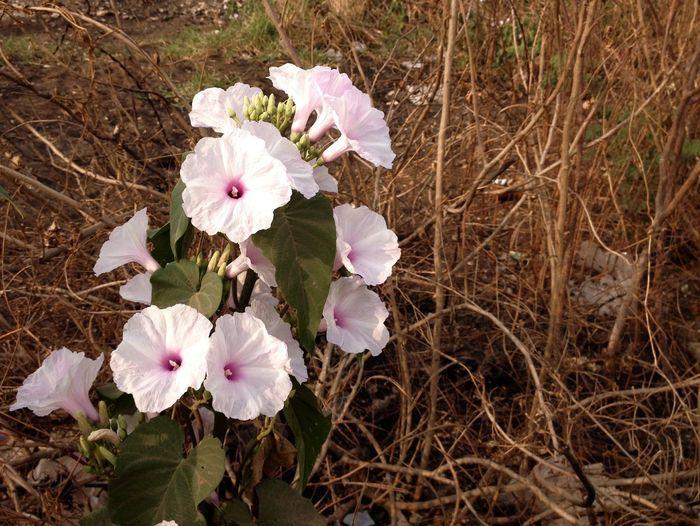 Kangkung Bandung Kale Flowers White at Summer