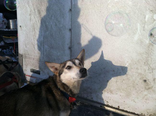 Alaska Alaskan Malamute Bubbles Cold Dog Love Dogmodel Mushing Photogrpahy Sled Sled Dog Winter