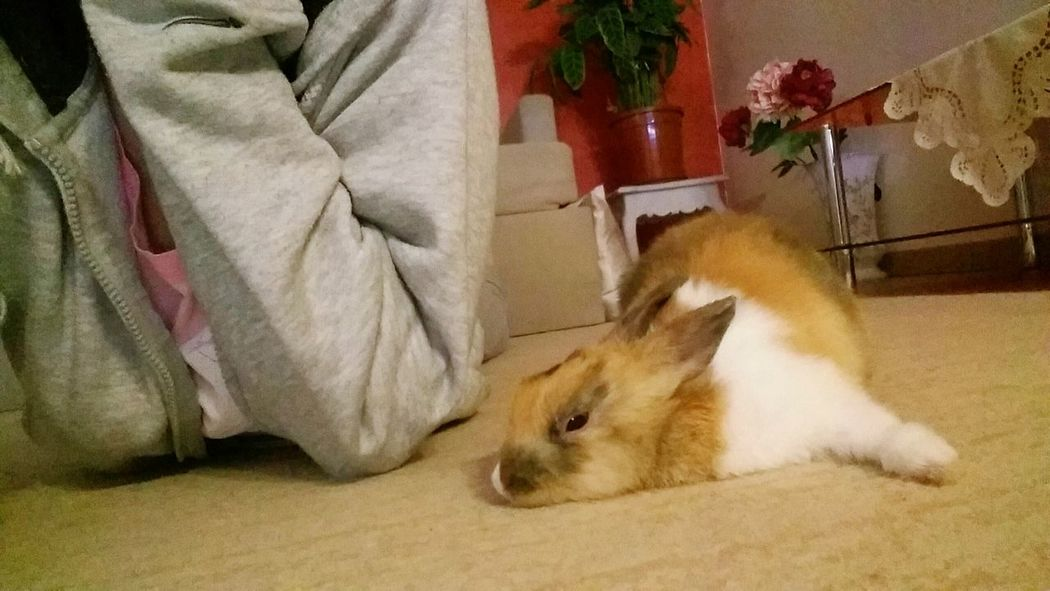 Too tired😴❤ Taking Photos Cheese! Relaxing Enjoying Life Bunny  Bunnies Sleepy Baby Rabbit Cute Pets Animal Good Times Bunny Love Animal Photography Bunny 🐰 Lovely Sleepy Goodnight Tootired Flufy