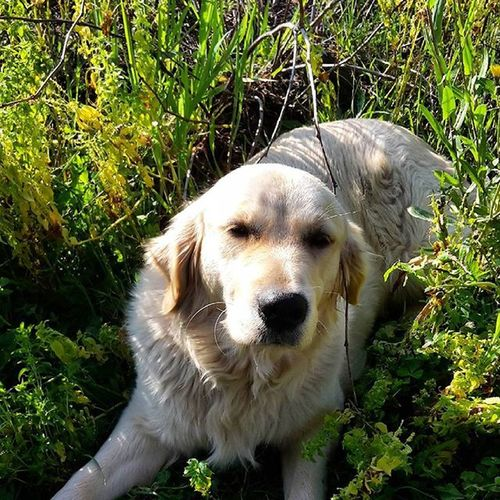 Happy Dog Goldenretriever Springtime Garden Photography