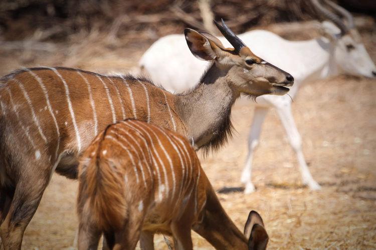 Oryxes on field