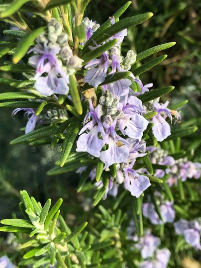 Rosmarinus officinalis Flower Plant Flowering Plant Growth Fragility Beauty In Nature Vulnerability  Freshness Close-up Petal Day Nature Purple No People Blossom Focus On Foreground Flower Head Inflorescence Botany Springtime