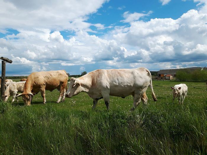 Cows, cows, cows Livestock Cloud - Sky Domestic Animals Agriculture Grass Grazing Animal No People Sky Nature Outdoors Animal Themes Mammal Day Sheep Water Rural Scene Cow Cows Cows In A Field Mammals Animals Green Grass Meadow