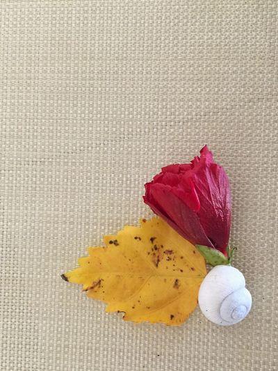 Florida winter still life Shell Seashell Yellow Leaf Red Flower Hibiscus Flower Hibiscus Still Life