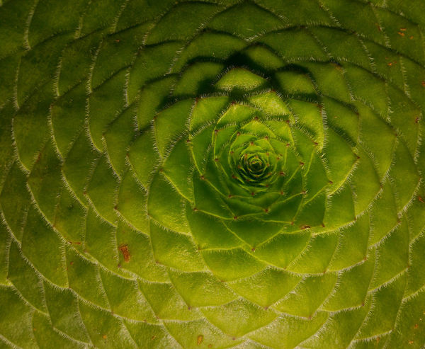 Beautiful patterns in nature, Aeonium plant, Fibonacci sequence EyeEm Eyeem Philippines Eyeem Singapore EyeEm Nature Lover EyeEm Gallery EyeEm Nature Collection EyeEm Best Shots - Nature Eyeemmarket Eyeem Market Singapore Singapore Botanic Garden Singapore Zoological Garden Abstract Sequences Patterns In Nature Patterns & Textures Nature Green Color Close-up Beauty In Nature Spider Web Concentric No People Leaf One Animal Water Outdoors Freshness Day Fragility