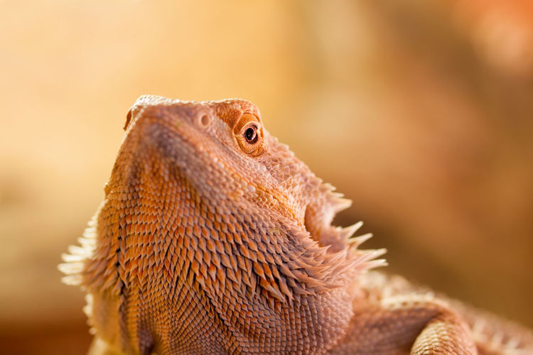 Close-Up Of A Reptile Looking Away