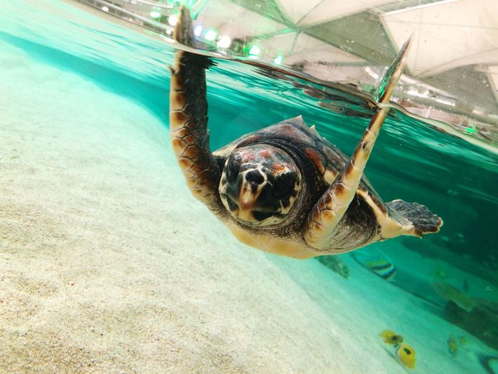 鴨川シーワールド Loggerhead Turtle One Animal Turtle Animals In The Wild Animal Themes Underwater Sea Turtle Sea
