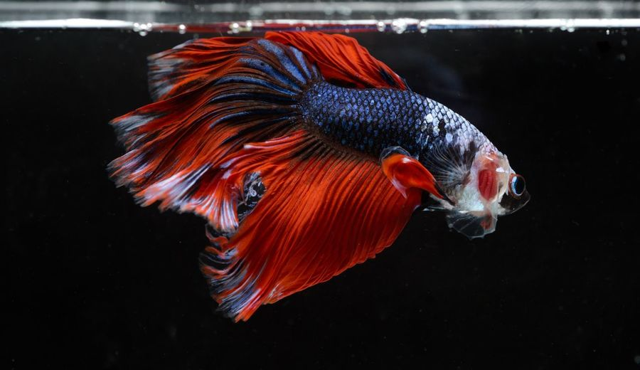 Siamese fighting, thai betta fish with beautiful white and blue and red colors , halfmoon fish