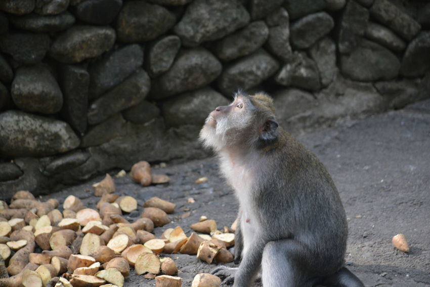 Look Into The Sky Monkey Business Nature Photography No Filter, No Edit, Just Photography One Animal Waiting For Food Wildlife Photography Zoo Life